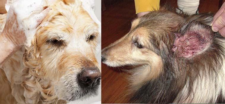 Лишай у собак - лечение в домашних условиях